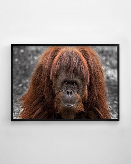 1200x1500-Orangutan