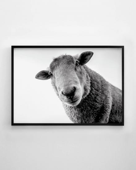 1200x1500-Sheep