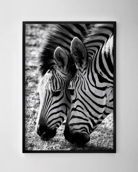 1200x1500-Zebras